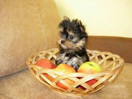 Для щенка терьера нужно выбрать несколько мелочей