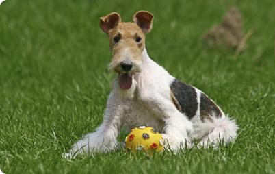 Выбор щенка фокстерьера