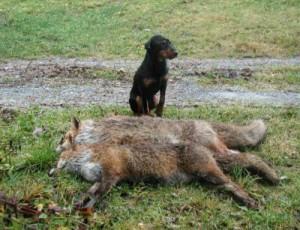 Подготовка терьера как норной собаки к охоте.