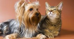 Отношения йоркширского терьера и кошки
